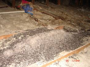 Large amount of guano on insulation in an attic